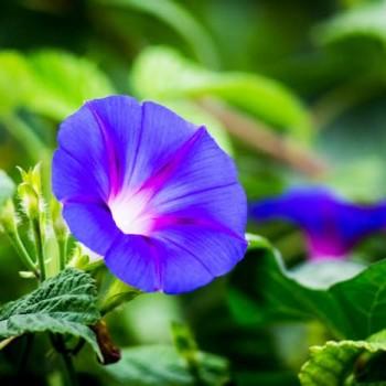 Gündüz Sefası Çiçeği